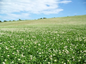 Field_of_clover_near_Upwey_-_geograph.org.uk_-_1360802